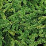 Pine Tree Christmas Tree Forest Needles Spruce